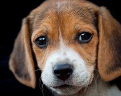 Beagle, eyes