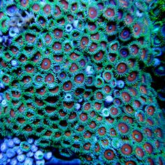 Zoanthids Coral, Zoanthus Red Eyes