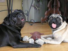 Say CHEESE!!!! #pug #dog #pose
