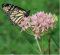 Milkweeds Native to Florida