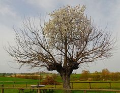 cerisier.jpg 640×494 pixels
