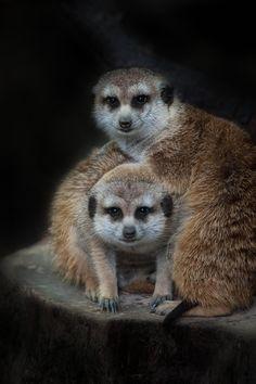 Meerkat Family Portrait