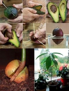 How To Grow An Avocado Tree for Endless Organic Avocados | RiseEarth
