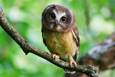 Northern Saw-whet Owl - so cute!