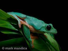 Black-eyed Leaf Frog, Agalychnis moreletii; Photo Credit: Mark Mandica