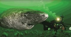 This Greenland shark found in the arctic is the oldest living vertebrae. It's 400 years old - Orcas, Greenland Shark, Species Of Sharks, Delphine, Animal Facts, Tier Fotos, Vertebrates, Mundo Animal, Animals Of The World