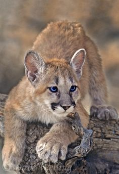 mountain lions felis concolor are the most widely distributed of the big wild cats ranging from the tip of south america north to canada | Dave Welling Nature Photography