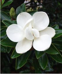 Magnolia grandiflora Little Gem : feuilles persistantes, taille maximale 2m50, parfait pour moi. Chez pep Jardin du Pic Vert