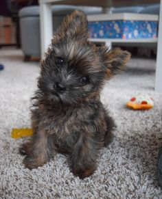 Cute Puppies And Kittens, Adorable Puppies, Adorable Animals, Cute Dogs, Dogs And Puppies, I Love Dogs, Puppy Love, Cairn Terrier Puppies, Toto