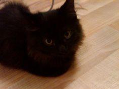 I am a cute York Chocolate Kitten.