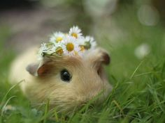 Ten reasons why guinea pigs are great pets-Zehn Gründe warum Meerschweinchen tolle Haustiere sind Ten reasons why guinea pigs are great pets - Animals And Pets, Baby Animals, Funny Animals, Cute Animals, Wild Animals, Small Animals, Cute Creatures, Beautiful Creatures, Animals Beautiful