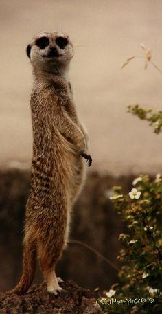 Meerkat on the lookout! Animal Spirit Guides, Spirit Animal, Happy Animals, Funny Animals, Poor Dog, Animal Activities, Cute Little Animals, African Animals, Mans Best Friend