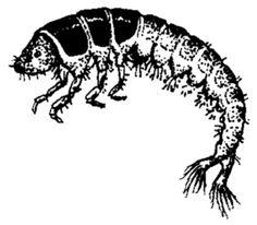 caddisfly larva - Google Search