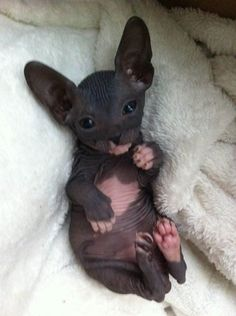 Kijiji : Chatons DON SPHYNX!! Call me crazy... But that's cute. ...........click…