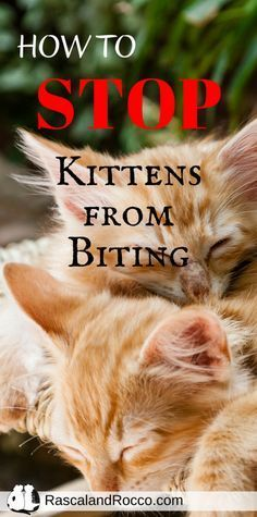 How To Stop Kittens From Biting Cat Behavior Kitten Biting Cat Biting
