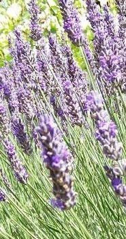 Remedies for Psoriasis - Lavender Oil is a Natural Psoriasis Treatment REAL PEOPLE. REAL RESULTS 160,000+ Psoriasis Free Customers