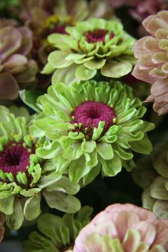Zinnia. Annuals. There are a lot of green varieties, not sure which one this is. Zones 3 - 10. Knock out!