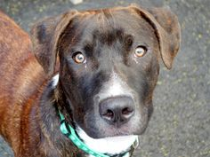 SAFE 6-21-2015 --- Manhattan Center BOBBY – A1039274 MALE, BL BRINDLE, PIT BULL MIX, 1 yr STRAY – STRAY WAIT, NO HOLD Reason STRAY Intake condition EXAM REQ Intake Date 06/08/2015