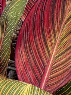 Close-up of Canna tropicanna in an Oregon Garden near Silverton, Oregon -  Flickr - Photo Sharing!