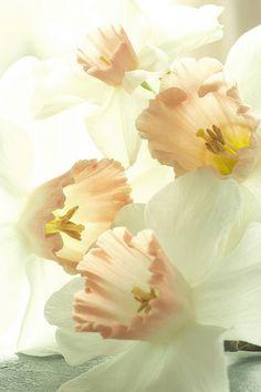Narcissus - The Girls' Birth Flower (December)
