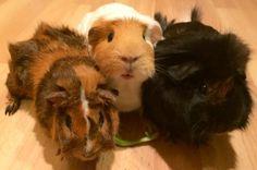 GoFundMe Hi please help me raise money for my guinea pigs!!