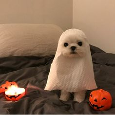 ReAl PaRaNoRmAl EnCoUnTer CaPtUrEd On CaMeRa - PeopleFuckingDying| puppy Halloween costume ghost #maltese