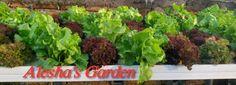 Sale! Hydroponics lettuce
