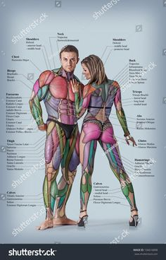 Anatomy of male and female muscular system - anterior posterior view - full body by ivanpavlisko, via Shutterstock Anatomy Study, Anatomy Art, Anatomy Reference, Drawing Reference, Anatomy Tattoo, Yoga Anatomy, Human Body Anatomy, Human Anatomy And Physiology, Body Muscle Anatomy