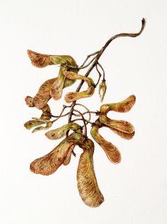 Beginning in Botanical Art and illustration Nature Sketch, Nature Drawing, Botanical Flowers, Botanical Prints, Sycamore Seed, Seed Art, Black Ink Tattoos, Fruit Painting, Botanical Drawings
