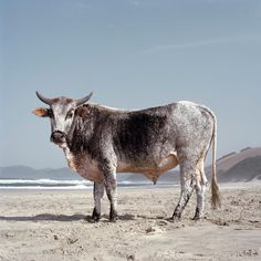 There is amazing exquisiteness to Daniel Naudé's work, a South African Photographer. Naudé began this Animal Farm series during a road trip from Cape Town to Mozambique in Capturing str… African States, Farm Photography, Farm Animals, Digital Art, Pets, Paintings, African Animals, African Art, Beach