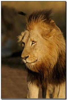 Dreadlocks Wild Lion, Lion Pride, Wild Creatures, Hyena, Predator, Big Cats, Animal Kingdom, Lions, Blessed
