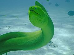 green moray - Cayman | When you swim in the sea, something chomps on your knee, that's a moray.