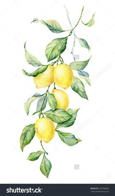 Find Brunch Lemon Watercolor Botanical Illustration Beautiful stock images in HD and millions of other royalty-free stock photos, illustrations and vectors in the Shutterstock collection. Lemon Painting, Lemon Watercolor, Watercolor Paintings, China Painting, Free Iphone Wallpaper, Wallpaper Backgrounds, Botanical Art, Botanical Illustration, Lemon Art