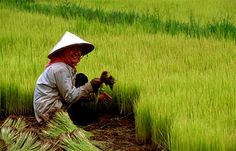 China in the modern world is big on agriculture but even in the past it was very big on agriculture. Their main crop is rice but they also used to produce vegetable oil producing plants.