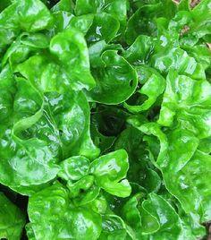 Perennial Brazilian/Sissoo Spinach or Sambu/Samba Lettuce (Alternathera sissoo)