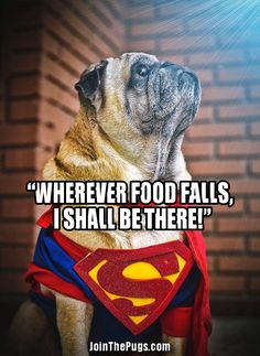 Super Pug! Wherever food drops I shall be there