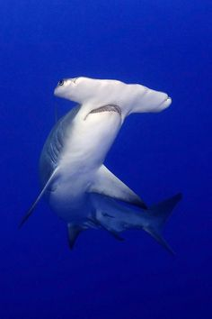 """I was vacationing @ Long Beach Island, NJ, when a 4'10"""" hammerhead was caught from the beach in front of the condo we were staying in back in the'70's!    It was AWESOME!"""