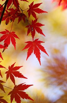 Fall Pictures, Pretty Pictures, Autumn Scenes, Fall Wallpaper, Japanese Maple, Tree Leaves, Leaf Art, Autumn Leaves, Maple Leaves