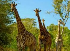 The South African Giraffe is a subspecies of giraffe found in South Africa, Namibia, Botswana, Zimbabwe, Mozambique. It has rounded or blotched spots, some with star-like extensions on a light tan background, running down to the hooves.