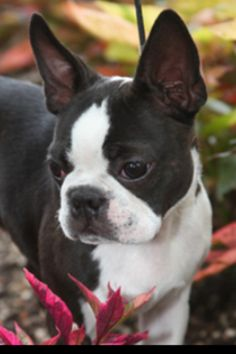 16 Reasons Boston Terriers Are Not The Friendly Dogs Everyone Says They Are  | Bostons :) | Pinterest | Terrier, Dog And Animal