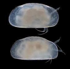 Phylum Arthropoda Subphylum Crustacea Class Ostracoda--planktonic and benthic forms