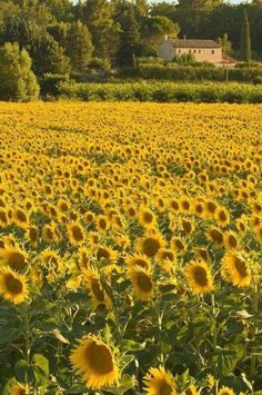 Sunflower field in Provence, France Happy Flowers, Wild Flowers, Beautiful Flowers, Beautiful Places, Sun Flowers, Field Of Flowers, Sunflower Garden, Sunflower Fields, Sunflowers And Daisies