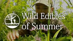 Bushcraft Foraging: Wild Edibles of Summer. Published on Jul 20, 2013.  Become a Patron: https://www.patreon.com/MCQBushcraft  Bushcraft Basics Blog - http://www.mcqbushcraft.co.uk/bushcra...