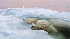Paul Souders, 2013 - Un oso polar mira desde debajo del agua y el hielo en la bahía de Hudson, Canadá.