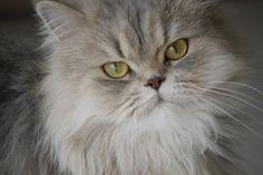 Persa. Se caracteriza por ser sumamente social y le encanta tener toda la atención, por lo que sería un buen compañero para los niños amorosos. Estos felinos necesitan asearse a diario, así que prepárate para asumir este compromiso si lo quieres como mascota, de acuerdo con la revista Catster, que brinda el siguiente dato. - Foto: www.flickr.com/photos/magnusbrath/5339239070/sizes/l