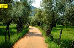 A walk through the Venetian olive grove of Lefkada