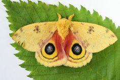 Io Moth  Automeris io