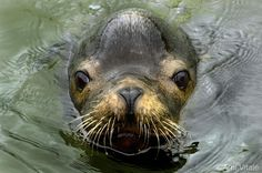 Photo by @amivitale. A California sea lion frolics in the East Mooring Basin in Astoria, Oregon. While the area is a popular hangout of local sea lions, the population is struggling to adjust to environmental changes that affect everything from the ocean temperature to the availability of salmon for the sea lions and local fishermen. Share your images of the world's oceans with #NatGeoOceansDay to be part of a live feed on NG News! Follow @amivitale @conservationorg and @nature_org to learn…