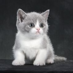 British Shorthair Kitten for adoption sale Toronto Canada ...