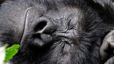 """Gorillas build new sleeping nests each night"" (BBC)"